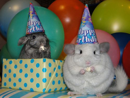 chinchillabirthday