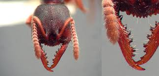 Ant Mandible
