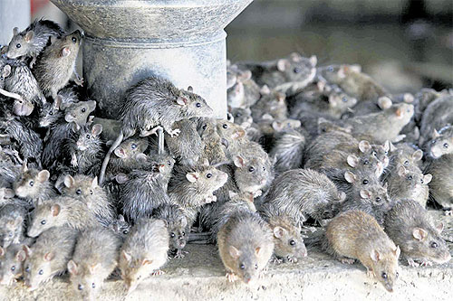 Rats escaping the Bangkok floodwater crowd together underneath the elevated tollway in Laksi district.