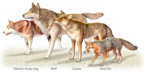 Canine Size Comparison