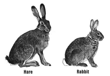 Hare vs jackrabbit - photo#1