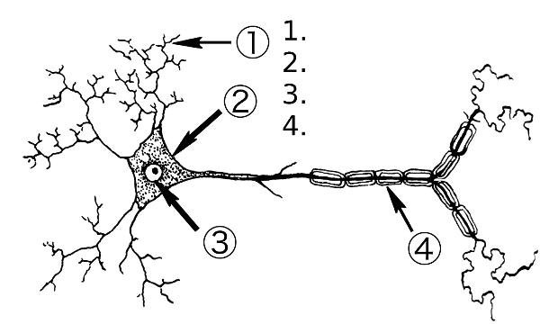 Neurons unlabeled diagram communication electrical drawing wiring chapter 02 neuroscience and consciousness hugh fox iii rh foxhugh com brain diagram labeled eye diagram unlabeled ccuart Image collections