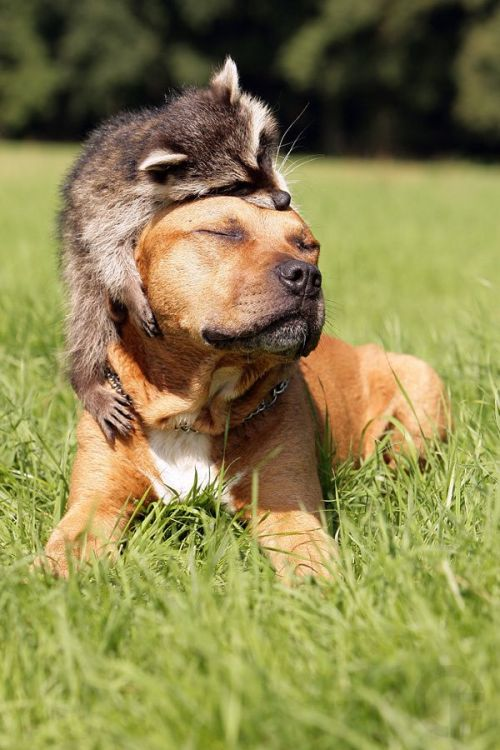 raccoon-and-dog